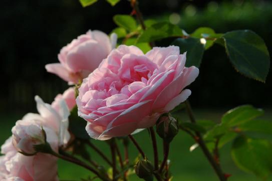 Symbolbild Rose